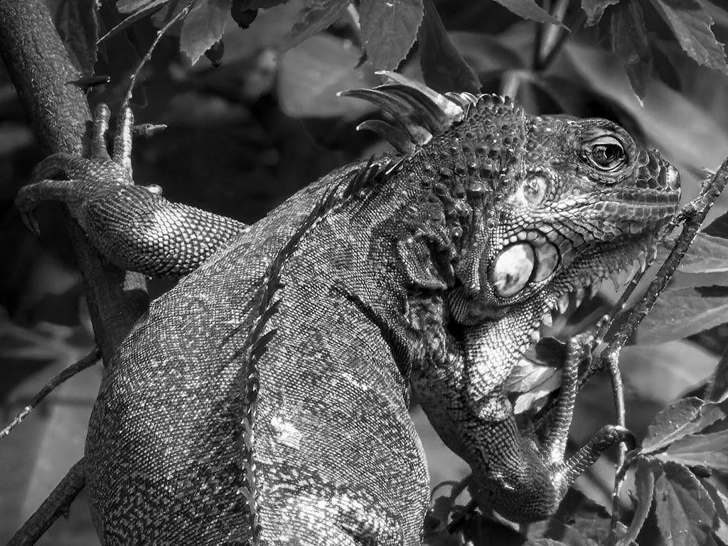 Portrait du dragon des arbres... 50624842591_c4eedd0a22_b