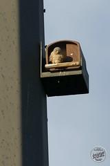 Faucon crécerelle - Falco tinnunculus - Common Kestrel : IMG_2972_©_Michel_NOEL_2020_Lac-Creteil