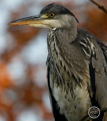 Héron cendré - Ardea cinerea - Grey Heron : IMG_2868_©_Michel_NOEL_2020_Lac-Creteil