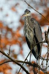 Héron cendré - Ardea cinerea - Grey Heron : IMG_2862_©_Michel_NOEL_2020_Lac-Creteil
