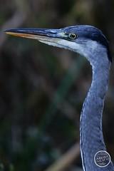 Héron cendré - Ardea cinerea - Grey Heron : IMG_2854_©_Michel_NOEL_2020_Lac-Creteil