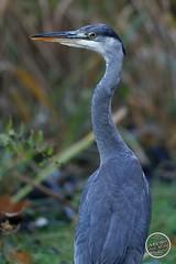 Héron cendré - Ardea cinerea - Grey Heron : IMG_2852_©_Michel_NOEL_2020_Lac-Creteil