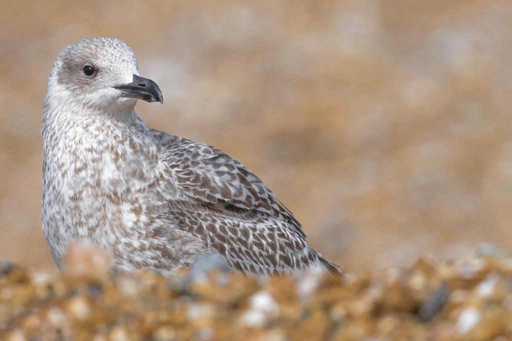 Herring Gull Sep 2020