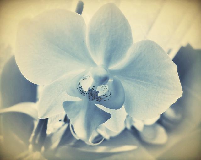 Orchidee in blu.