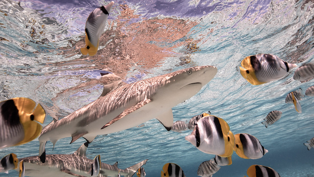 Bora Bora Black Tip Shark - World Shoot Out Underwater Photography Competition