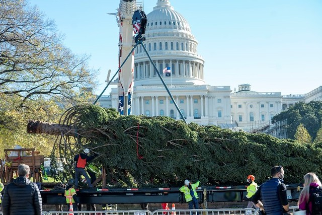 The U.S. Capitol Christmas tree being slowly lifted from the flatbed of a truck