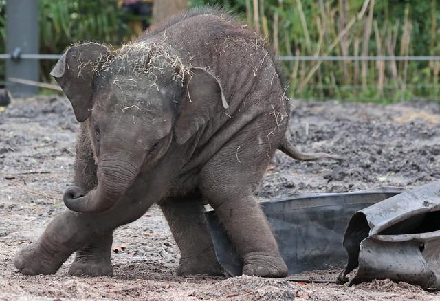 asiatic elephant Vinh artis 9K2A3130