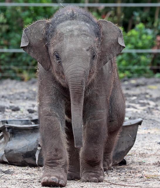 asiatic elephant Vinh artis 9K2A3311