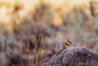 Chipmunk on a rock | by lgflickr1