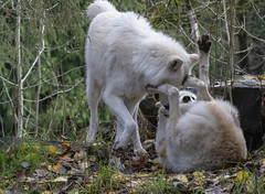 Female Gray Wolf (Canis Lupus) submitting