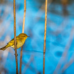 Willow Warbler, Phylloscopus trochilus, Mosquitero Musical