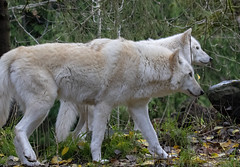Female Gray Wolf (Canis Lupus) pair