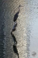 Héron cendré - Ardea cinerea - Grey Heron : IMG_2960_©_Michel_NOEL_2020_Lac-Creteil