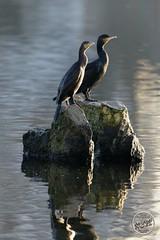Grand Cormoran - Phalacrocorax carbo - Great Cormorant : IMG_2919_©_Michel_NOEL_2020_Lac-Creteil
