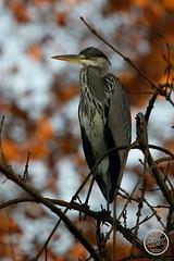 Héron cendré - Ardea cinerea - Grey Heron : IMG_2875_©_Michel_NOEL_2020_Lac-Creteil