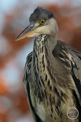 Héron cendré - Ardea cinerea - Grey Heron : IMG_2867_©_Michel_NOEL_2020_Lac-Creteil