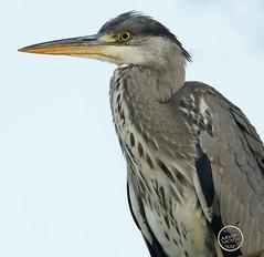Héron cendré - Ardea cinerea - Grey Heron : IMG_2861_©_Michel_NOEL_2020_Lac-Creteil