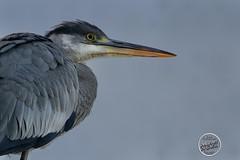 Héron cendré - Ardea cinerea - Grey Heron : IMG_2858_©_Michel_NOEL_2020_Lac-Creteil