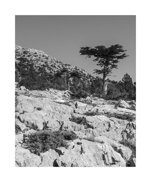 An old Cedrus libani on Gidengelmez Mountains 1/2