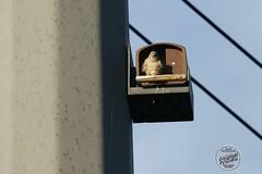 Faucon crécerelle - Falco tinnunculus - Common Kestrel : IMG_2973_©_Michel_NOEL_2020_Lac-Creteil