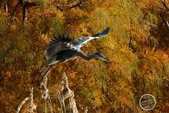 Héron cendré - Ardea cinerea - Grey Heron : IMG_2963_©_Michel_NOEL_2020_Lac-Creteil