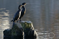 Grand Cormoran - Phalacrocorax carbo - Great Cormorant : IMG_2916_©_Michel_NOEL_2020_Lac-Creteil