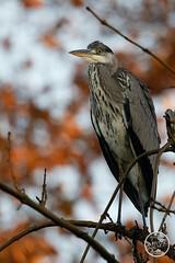 Héron cendré - Ardea cinerea - Grey Heron : IMG_2864_©_Michel_NOEL_2020_Lac-Creteil