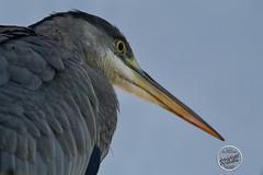 Héron cendré - Ardea cinerea - Grey Heron : IMG_2856_©_Michel_NOEL_2020_Lac-Creteil