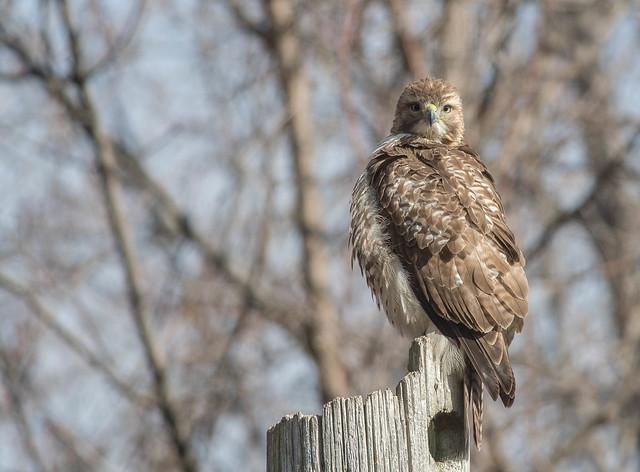 Buse à queue rousse/Red-tailed hawk-PM4_7667