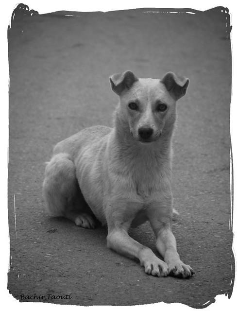 La chienne de Chréa -3