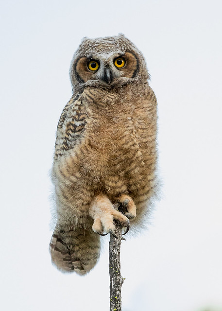 Baby owl on a stick