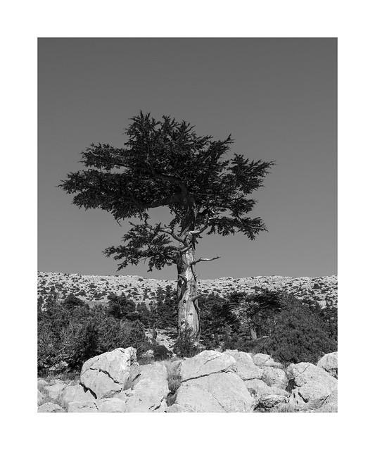 An old Cedrus libani on Gidengelmez Mountains 2/2