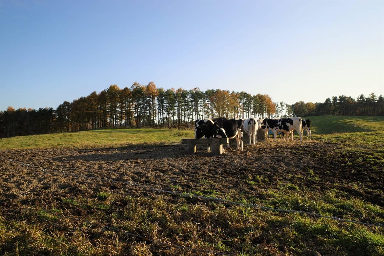 浅間牧場 放牧されていた牛