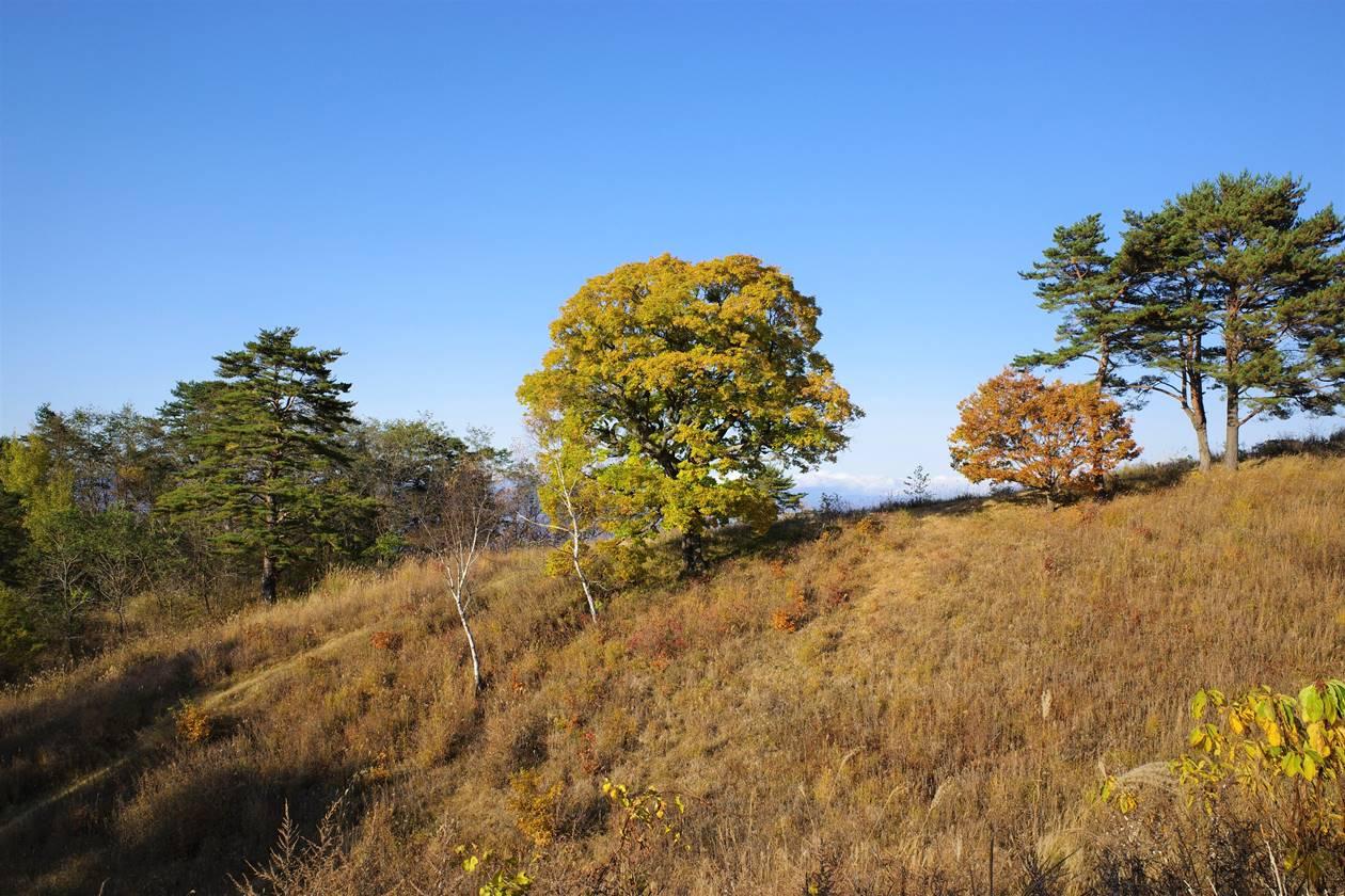 浅間牧場・カルメンの木