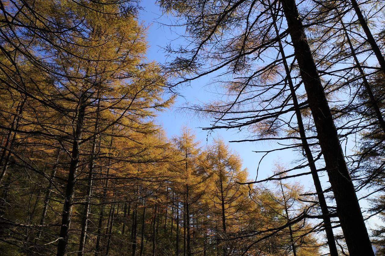 浅間隠山登山 カラマツの紅葉