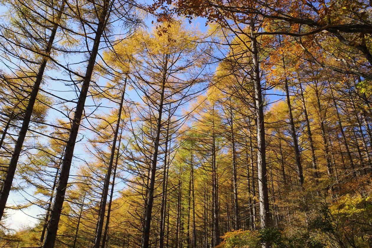 秋の浅間隠山登山 落葉松の紅葉