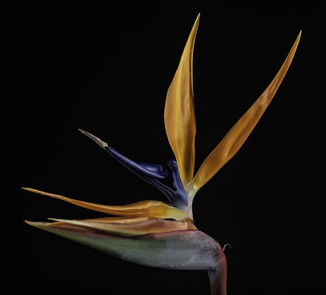 Bird Of Paradise Flower 4180