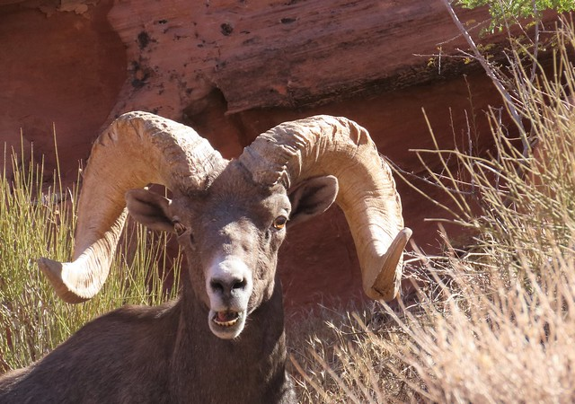Bighorn Sheep (Ram) Valley of Fire State Park, Nevada