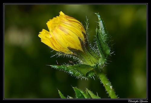 Picride fausse vipérine (Helminthotheca echioides)