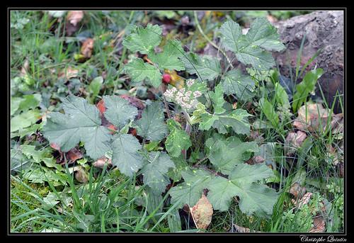 Grande Berce (Heracleum sphondylium)