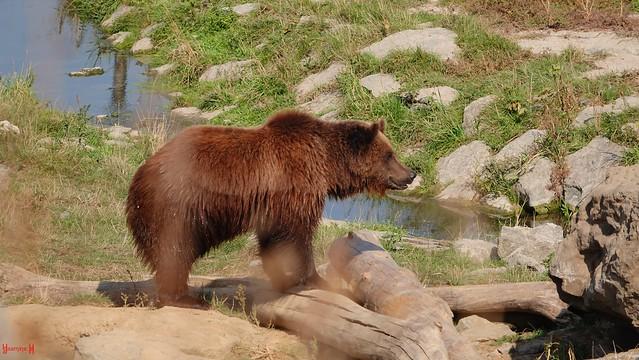 Bear - 9100