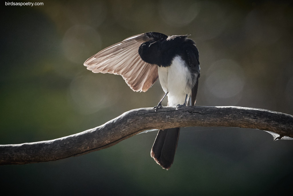 Willie Wagtail: Well lit Willie