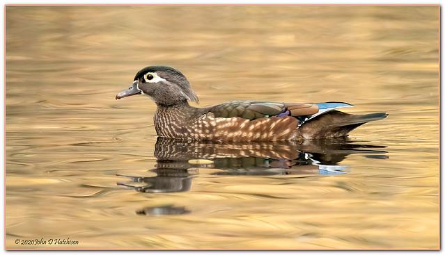 Wood Duck ( Female )