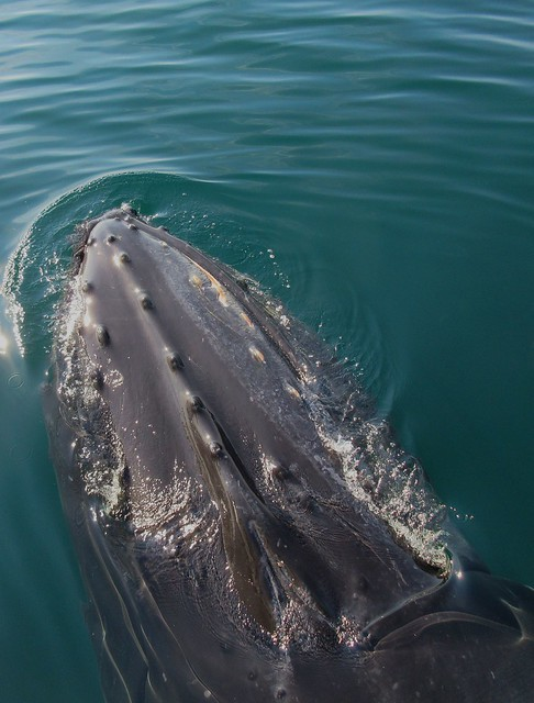 Abyss, a humpback whale I will never forget !