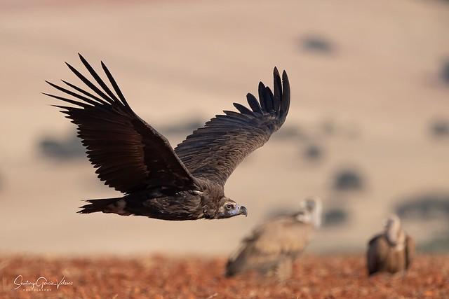 Buitre negro / Black vulture (Aegypius monachus)