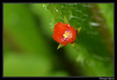 Mouron (Anagallis arvensis)