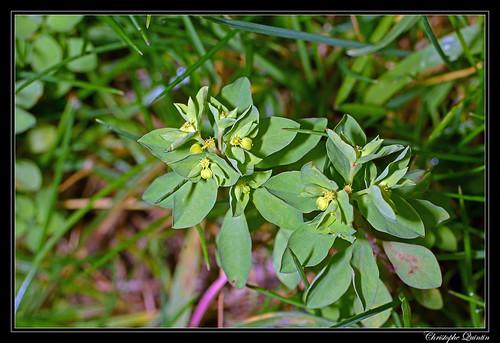 Esule ronde (Euphorbia peplus)