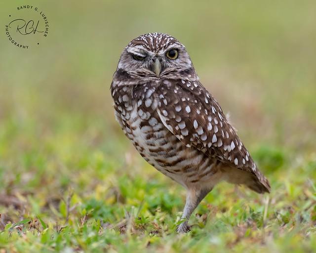 Burrowing Owl | Athene cunicularia | 2020 - 2