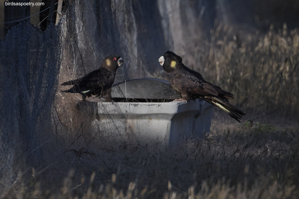 Yellow-tailed Black Cockatoo: Sharing a morning drink