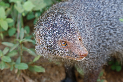 Ruddy Mongoose | by samwoodsbirding